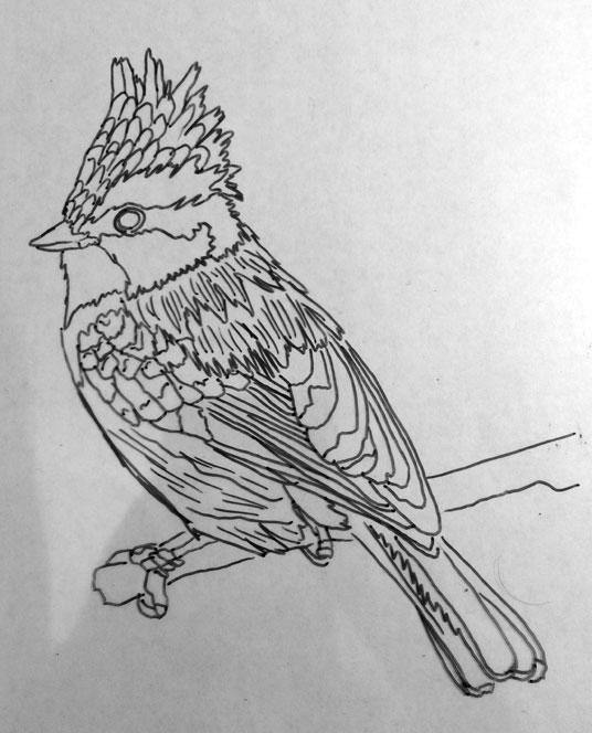 111215-Himalayan-black-lored-tit-drawing